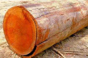 Tronco madeira Ipê.