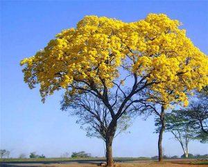 Árvore Ipê.
