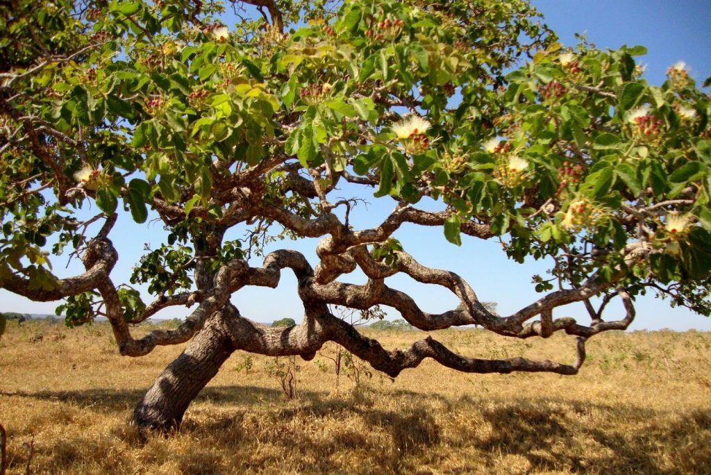 Árvore pequi